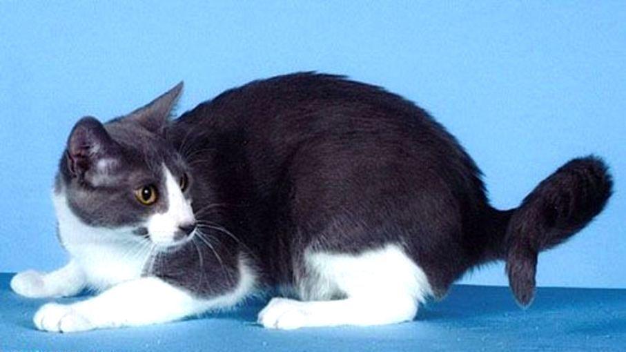 American-ringtail-cats-healthiana
