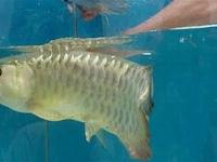 Mulut Ikan Arwana Yang Baru Dibelinya Tampak Aneh, Pria Ini Langsung Syok Saat Diperiksa Isinya