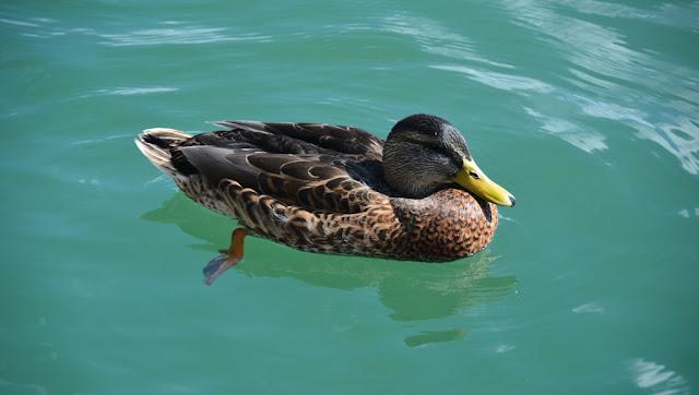 Tegernsee duck