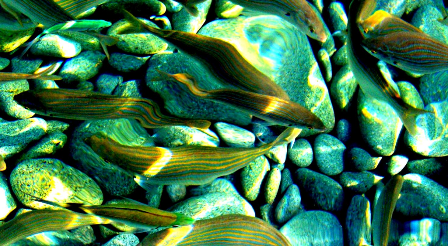 Fishes Sea Fish Underwater Sealife Ocean Nature Koi Live Wallpaper