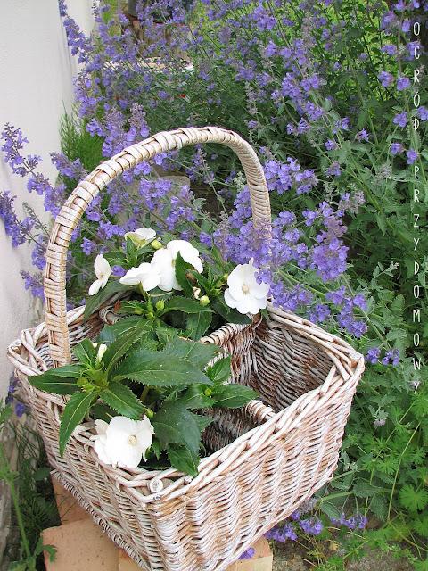 szczepienie warzyw, warzywa szczepione, ogród przydomowy