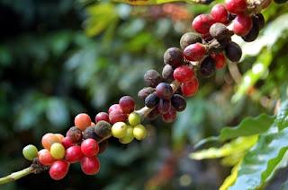 Origen e historia del cafe