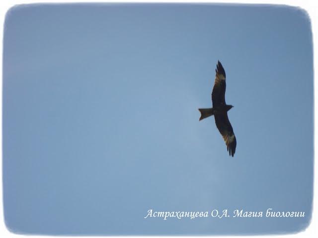 черный коршун в небе, силуэт, птица летит, крылья