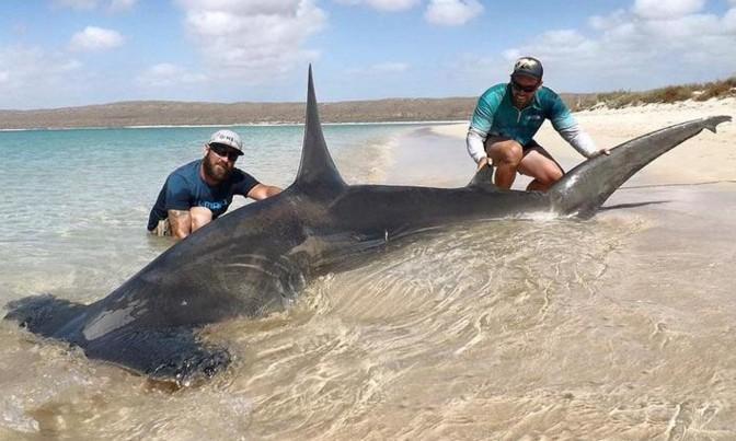 largest hammerhead shark - photo #1