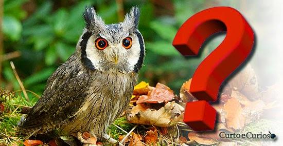 "Coruja 'Transformer' que muda de aparência - Ptilopsis leucotis' - ""Northern white-faced owl"