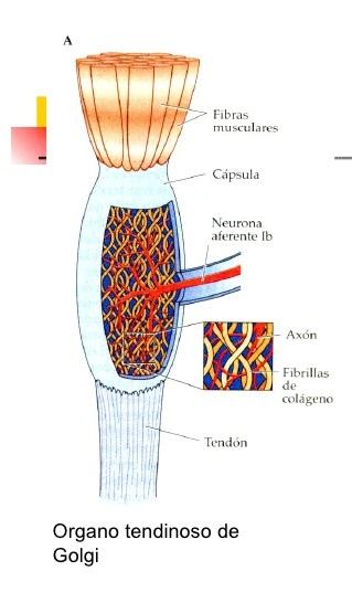 El órganos tendinosos de Golgi y su importancia en la actividad ...