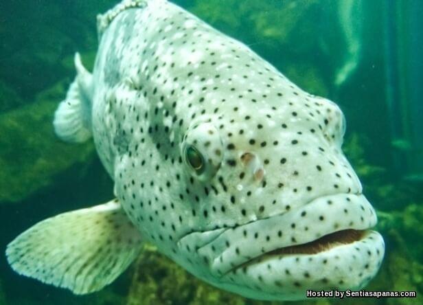 Ikan Kerapu Hibrid