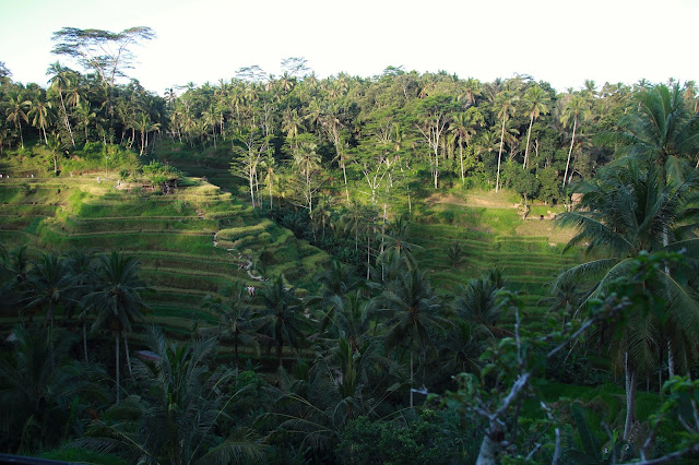 terrace rice fields, ubud, indonesia
