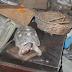 Insólito caso: Familia ha encontrado viva a una tortuga que habían perdido hace 34 años