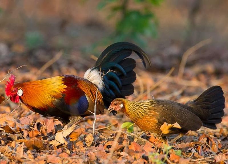 Ciri Ciri Umum Ayam Hutan Merah