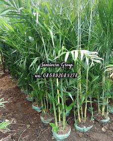 Palem Komodoria 1,5 Meter