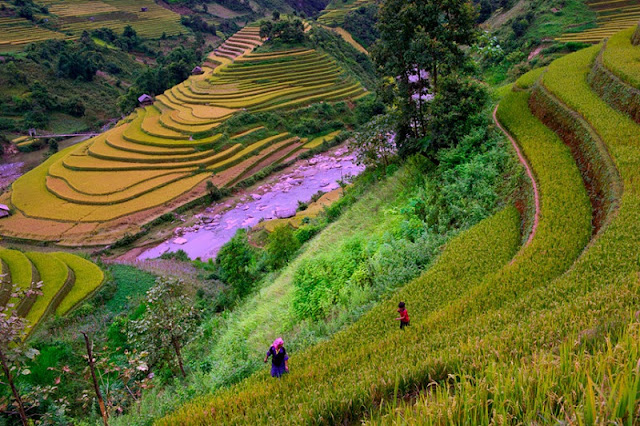 Top 5 sites of ripe rice hunting can't be missed at Mu Cang Chai 3