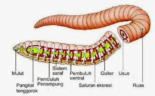 Permalink ke Kingdom Animalia : Filum Annelida dan Mollusca