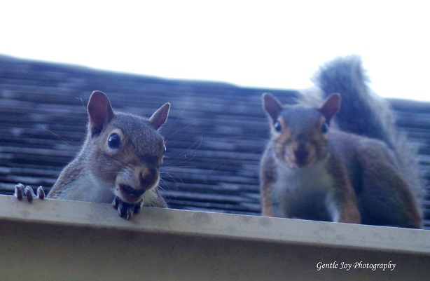 Gentle Joy Photography Those Funny And Frustrating Squirrels