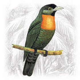 Pássaro Pavó (Pyroderus scutatus)