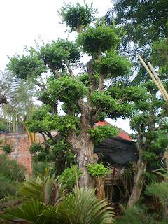 Harga jual tanaman bonsai serut murah