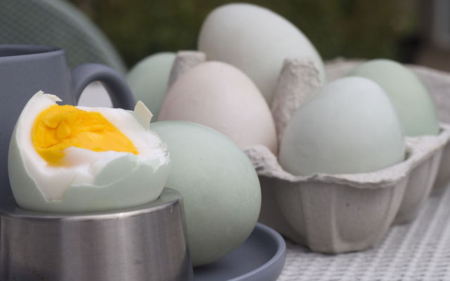 Kandungan Gizi Protein Telur Bebek