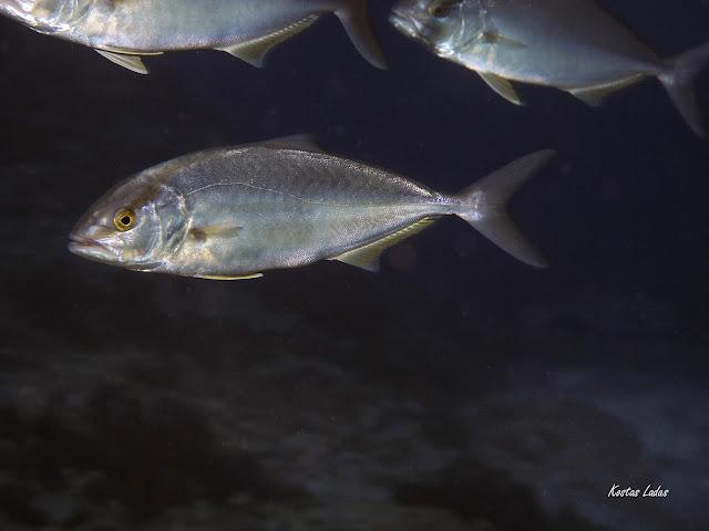 Υποβρύχιες φωτογραφίες Κώστας Λαδάς