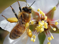 Bee Animal Pictures