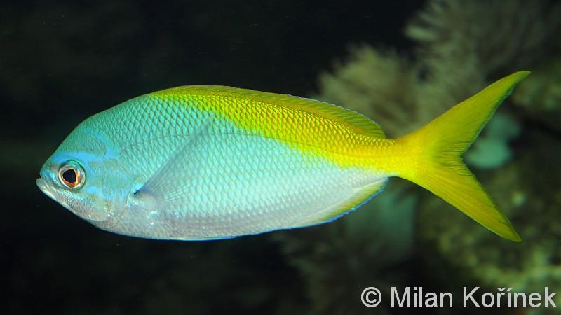 Jenis Jenis Ikan Air Laut Ekonomis Penting Bagian 14 Lalaukan