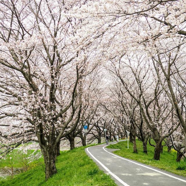 荒川自転車道 さくら堤公園 桜