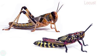Locust, Locust insect,পঙ্গপাল