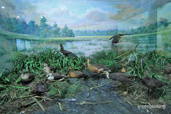 belibis kembang itik kapas museum zoologi bogor