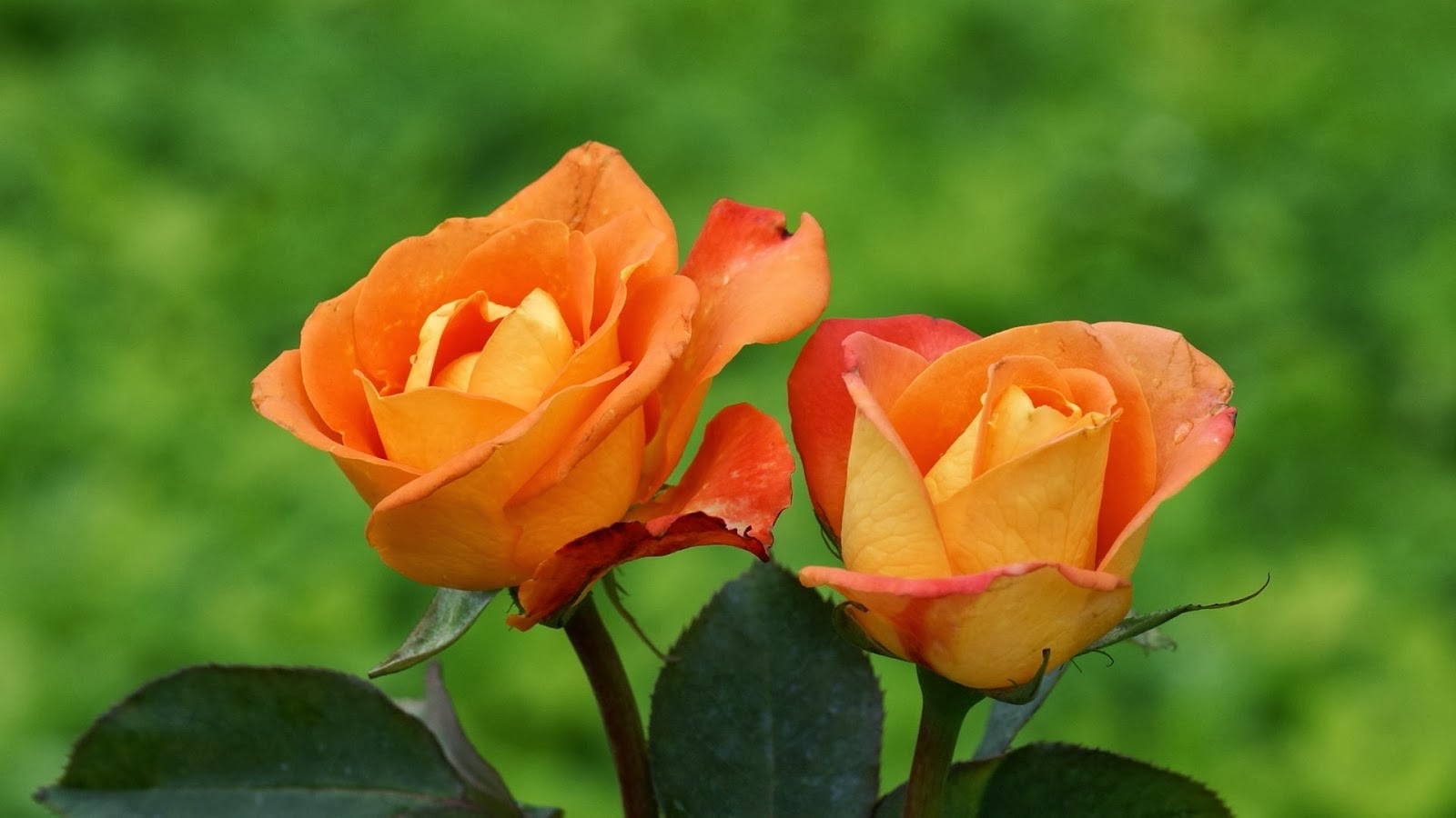 Free Cute Wallpapers For Android Orange Rose Flowers Wallpapers Beautiful Flowers Wallpapers
