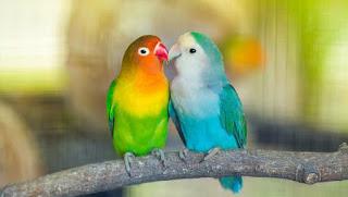 Fakta menarik burung lovebird