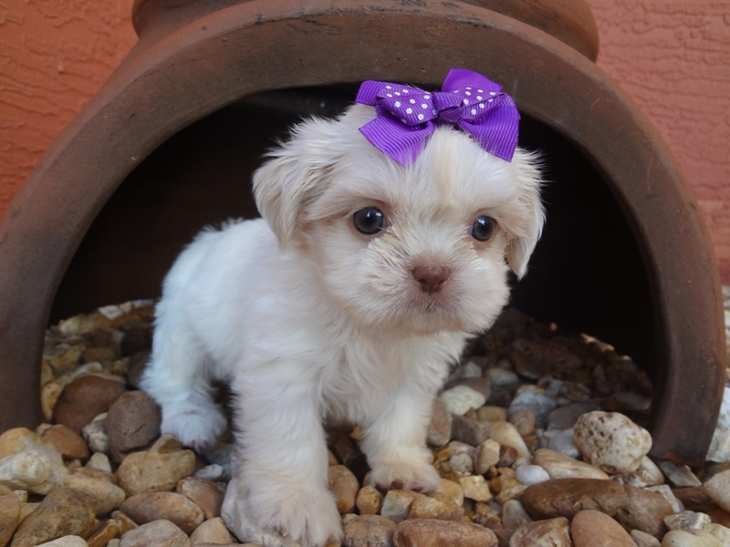 Welcome To Shih Tzu In Florida Exotic Colors