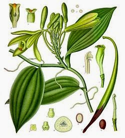 Vanilla is a flavoring derived from the fruit of the climbing orchid of the genus Vanilla Vanilla Definition