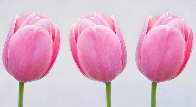 hoa tulip hồng, tím đẹp nhất 7