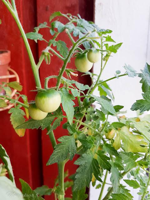 kodin kukat tomaatti tomtato
