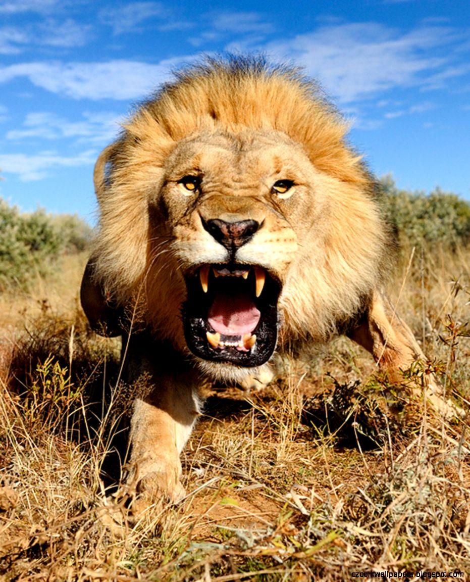 Lion Roaring Background Hd Wallpaper Wide Zoom Wallpapers