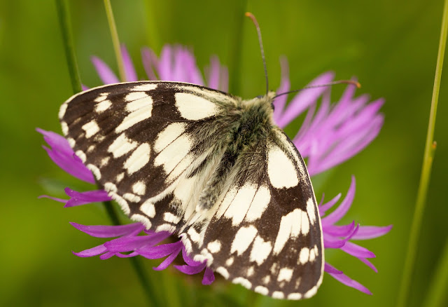Marbled White - Oxfordshire