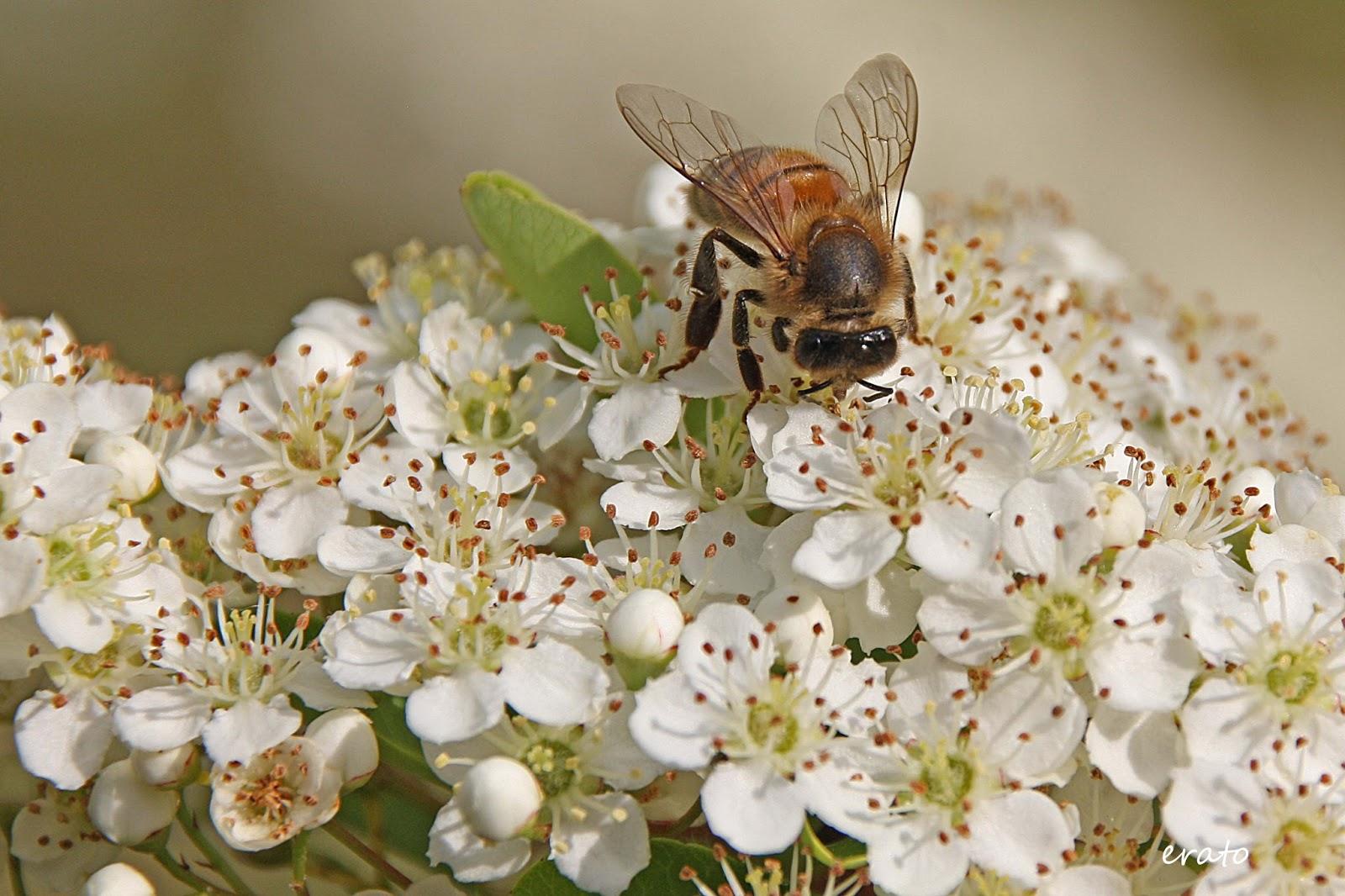 r veries histoire d 39 amour entre le pyracantha et l 39 abeille. Black Bedroom Furniture Sets. Home Design Ideas