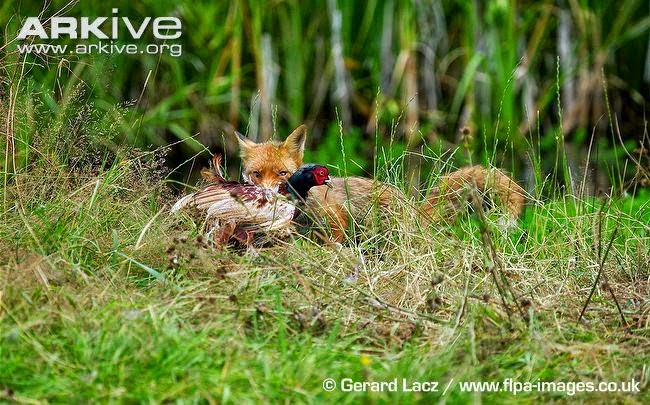 Red Fox and Phasianus colchicus