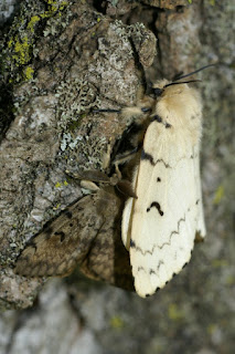 couple Bombyx disparate - Lymantria dispar