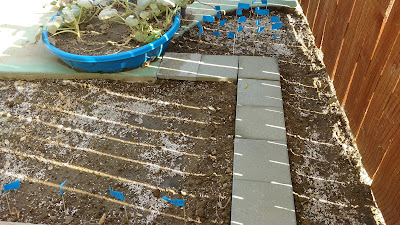 Mixed Brassica seeded in ground; misc squash project dying in 'planter'