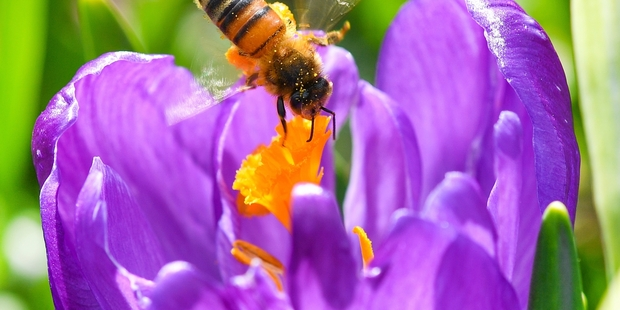 Strong evidence bees boost flowers' scent