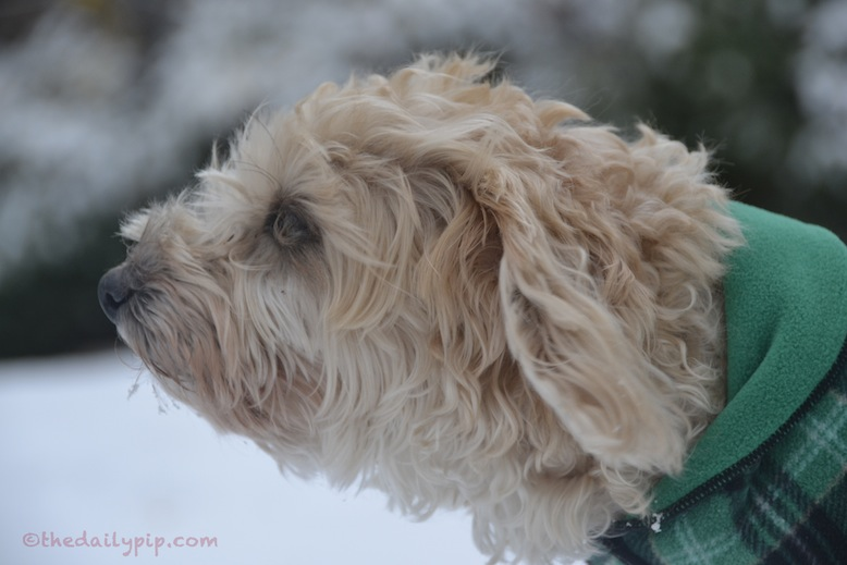 Ruby, the rescued Yorkie-Poo, looks forward to spring, on wordless wednesday