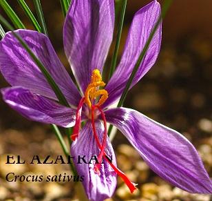 Azafran, Croccus sativus