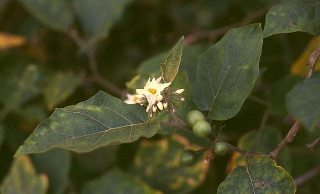 Quả Cà Dại Hoa Trắng - Solanum torvum - Nguyên liệu làm thuốc Đắp vết thương Rắn Rết cắn
