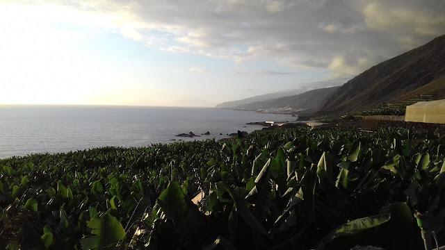 Bananowce na La Palmie