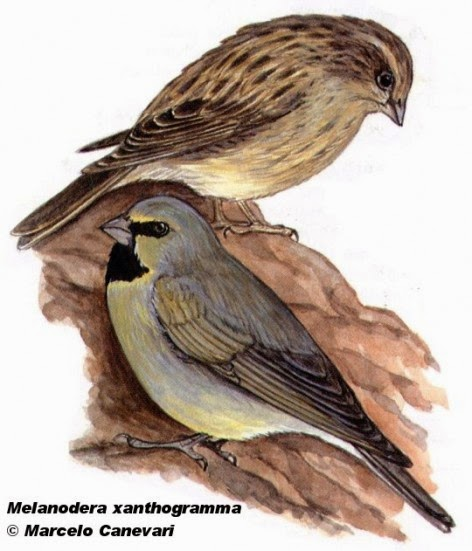 Yellow bridled Finch
