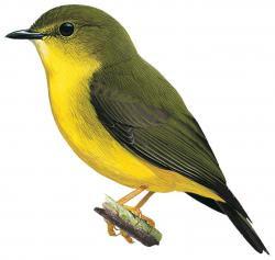 Canary Flyrobin