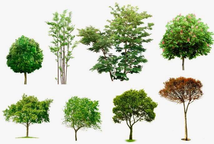 Apuntes revista digital de arquitectura arboles y for Tipos de arboles y sus caracteristicas