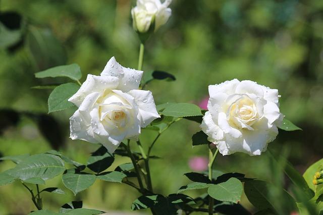hoa hồng trắng đẹp nhất thế giới 2