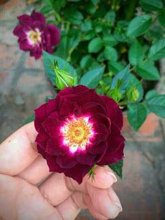 hạt giống hoa hồng thân gỗ