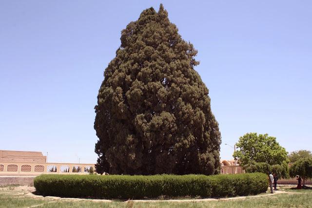 Abarkooh Cypress. Yaz-Iran